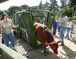 Students work with a cow